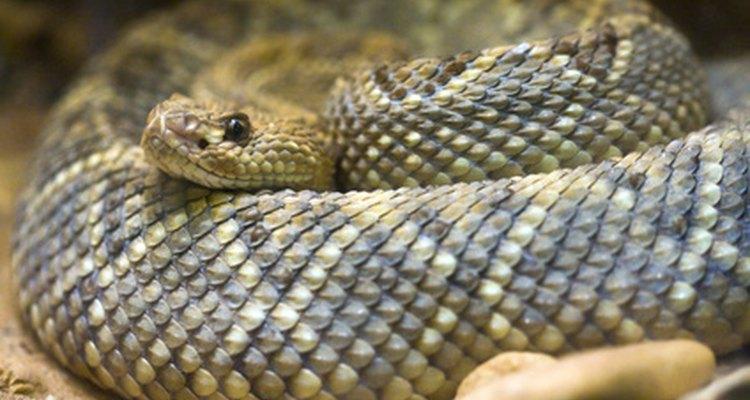 Las víboras de cascabel macho son conocidas por pelear entre sí por las hembras.