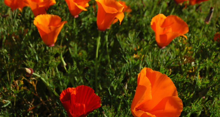 California poppies are eschscholzia, not paver.