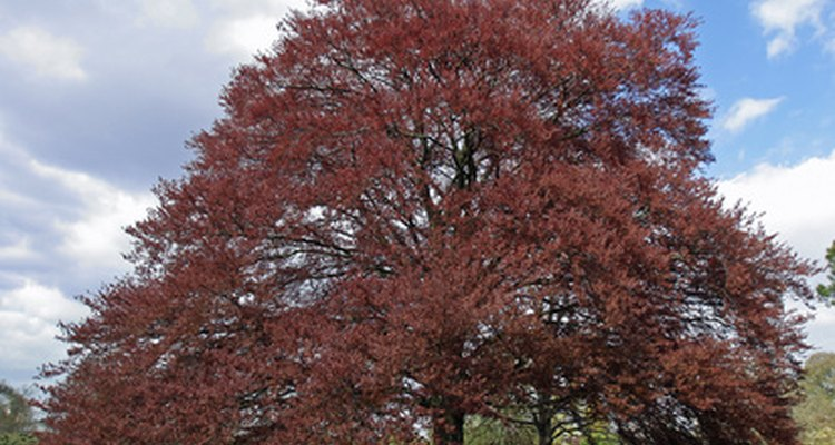 The purple beech tree is another colourful alternative to the tricolour.