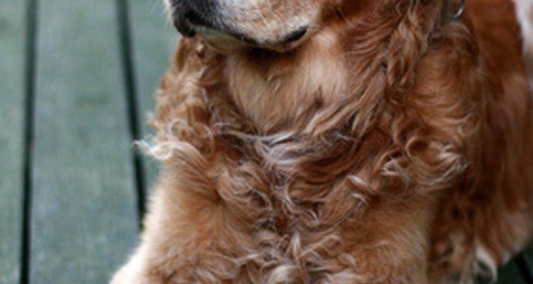 La dislocación repentina de cadera en los perros se puede tratar con cirugía o sin ella.