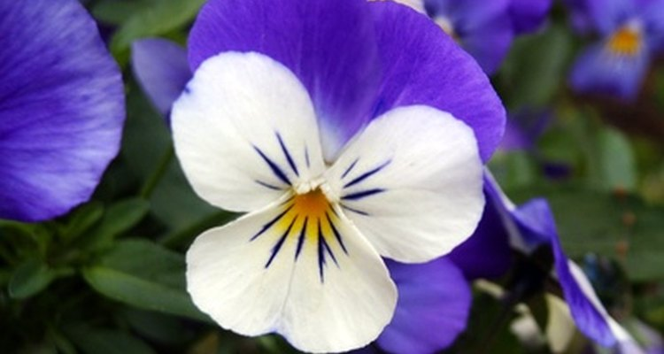500 species of annual and perennial violas are found all over the world.