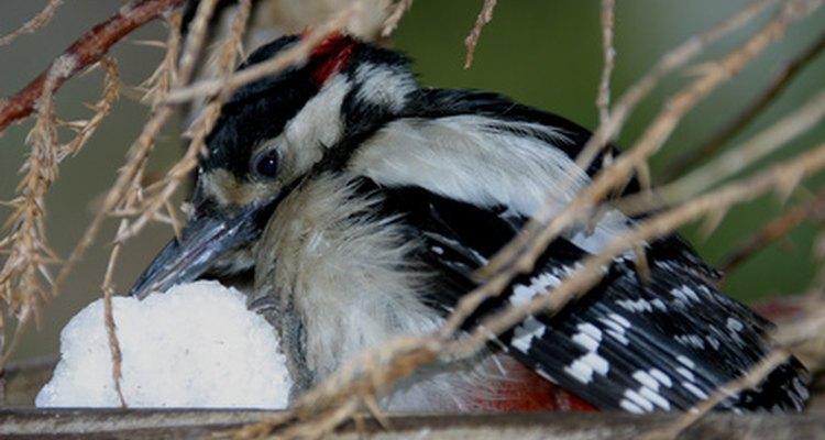 Muchas especies de pájaros carpinteros habitan los bosques caducifolios templados de Asia, Europa y América del Norte.