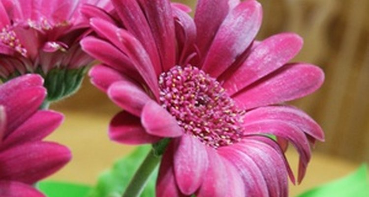 One gerbera daisy can produce a garden full of plants from basal cuttings.