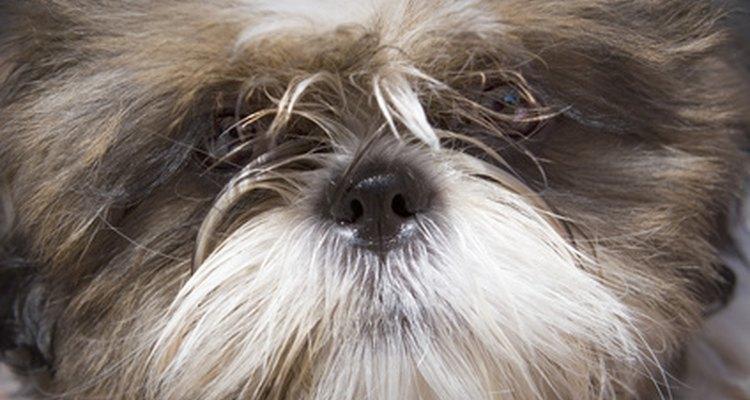 Os donos de shih tzu ou pequineses devem checar por qualquer mudança na pele do cão