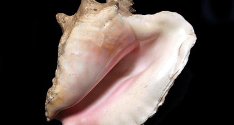 Aprende cómo limpiar el caparazón de un caracol marino para luego poder cocinarlo en tu receta favorita.