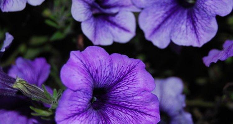 Calibarchoa in Bloom