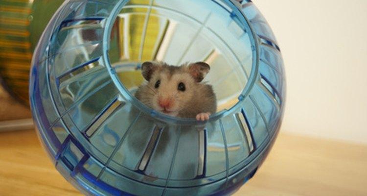 Hamsters são bichos de estimação ativos e alegres, mas durante o dia estão geralmente dormindo