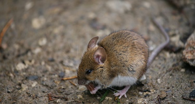 Mice cause fire hazards by gnawing electrical wires.
