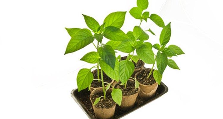 O solo esterilizado ajuda a garantir mudas saudáveis