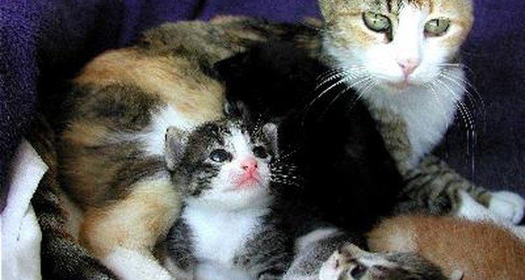 Los gatos y sus garras anteriores.