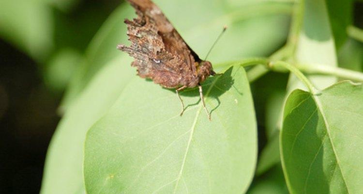 Mariposas e borboletas servem de alimento para o pavão