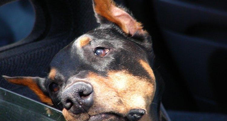 No es extraño que los perros se mareen en autos o barcos.