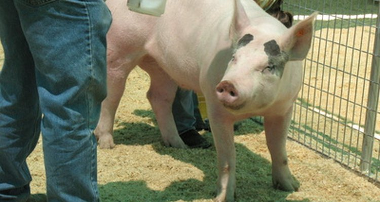 É possível utilizar o comprimento de um porco para estimar o seu peso