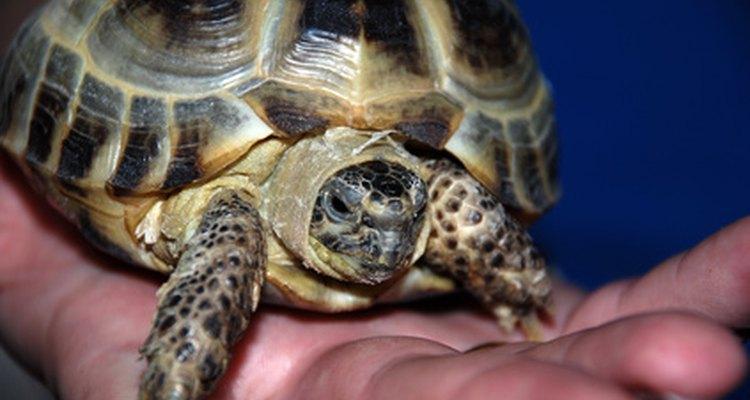 Seja gentil e cuidadoso ao manusear sua tartaruga para prevenir lesões na espinha