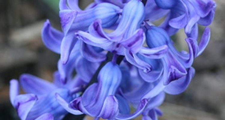 The hyacinth flower can cause allergic reactions when handled or consumed.
