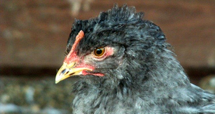El estiércol de pollo puede ser peligroso para la salud.