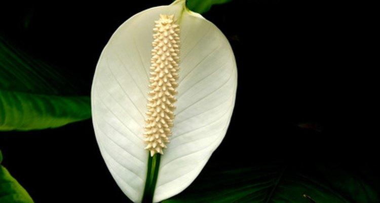A flor branca e brilhante do lírio-da-paz parece notável sobre o fundo da folhagem verde-escura