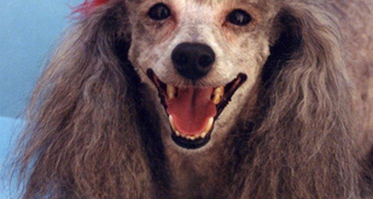 La mayoría de los perros se recuperan de infecciones fúngicas sin ningún poblema.