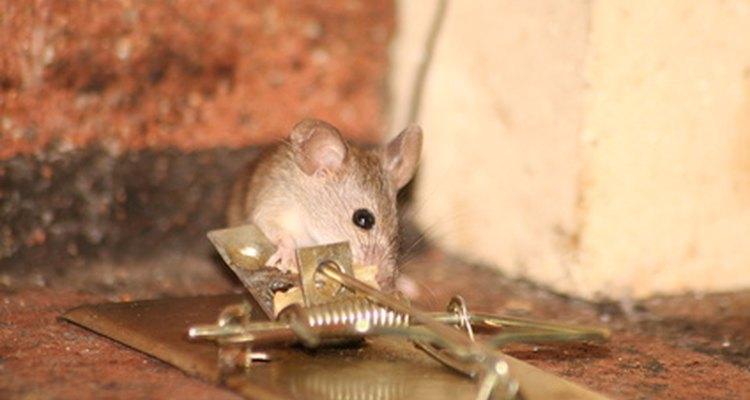 Ratoeiras podem ser perigosas para crianças e animais de estimação