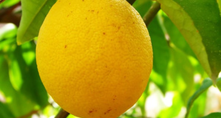 Bright yellow lemon growing on lemon tree.