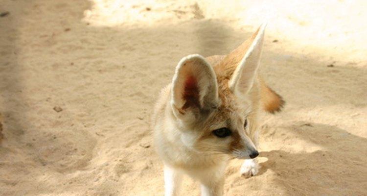Los oídos del zorro Fennec irradian calor.