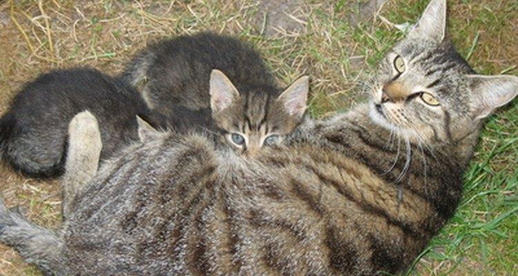Una buena nutrición es esencial para una gata que está en el proceso de lactancia.