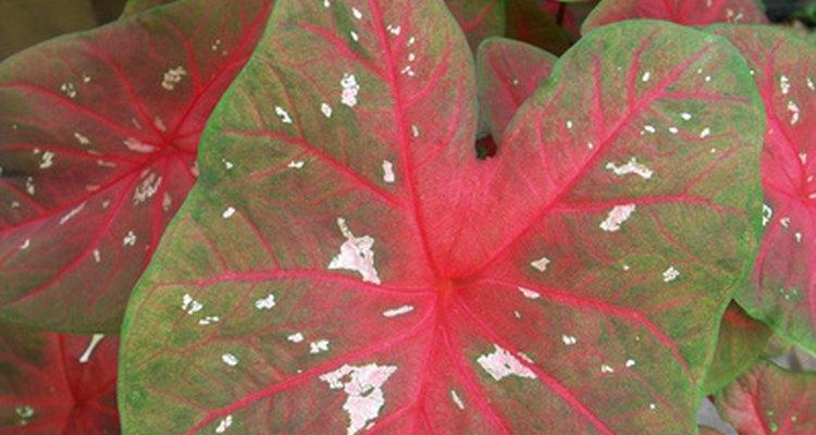 As folhas do tinhorão podem ser encontradas em diversas cores