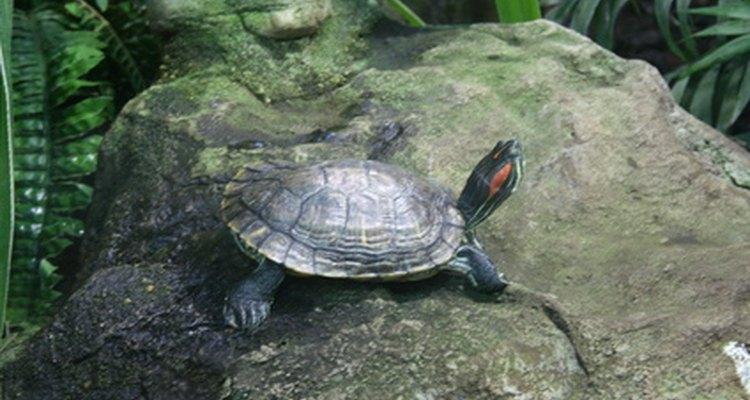 A tartaruga pescoço de cobra puxa sua cabeça para dentro de sua concha de lado