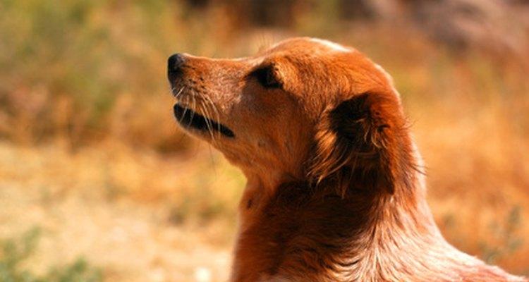 Vacunar a los perros anualmente contra algunas enfermedades y virus puede salvar sus vidas.