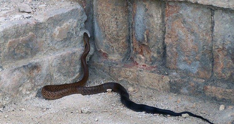La serpiente de cuello anillado es inofensiva.