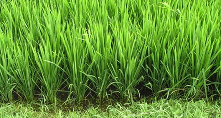 Rice contains enzymes called glycoside hydrolases.