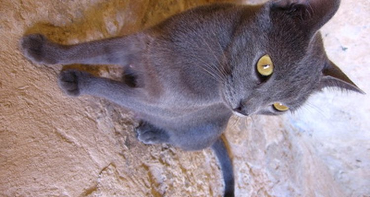 Os donos de gato devem ficar atentos aos sintomas do seu amigo felino