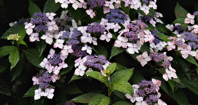 Hydrangea produce flowers in ball or cone-shaped cluters.