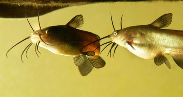 O bagre pode ser criado em tanques de água doce