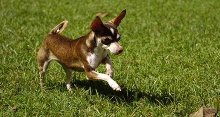 Cultiva plantas repelentes de pulgas en tu jardín por el área donde pasea tu mascota.