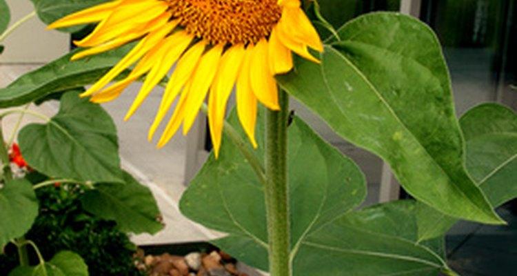Los girasoles mueven sus flores siguiendo al sol durante el día.