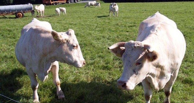 La raza Charolais es una de las más populares en la producción de carne.