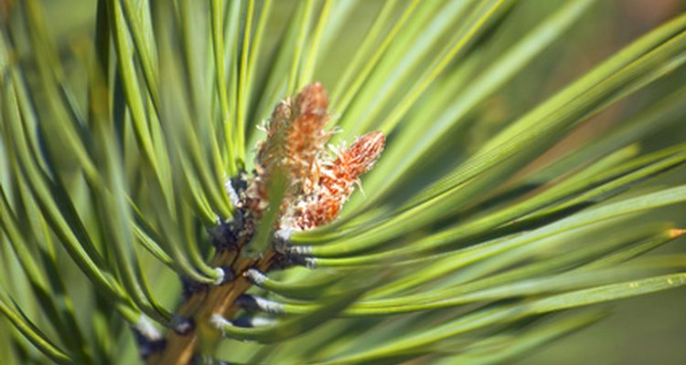 Pine tree needles should be green and waxy.