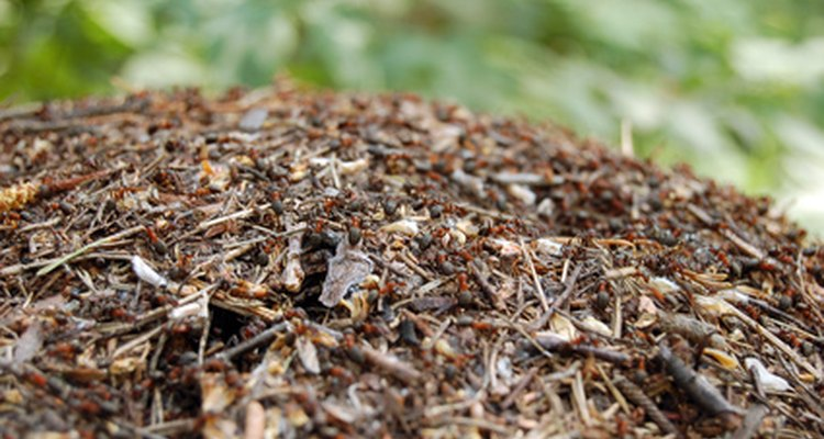 Once you find the ant nest, you can kill the queen and wipe out the colony's future.