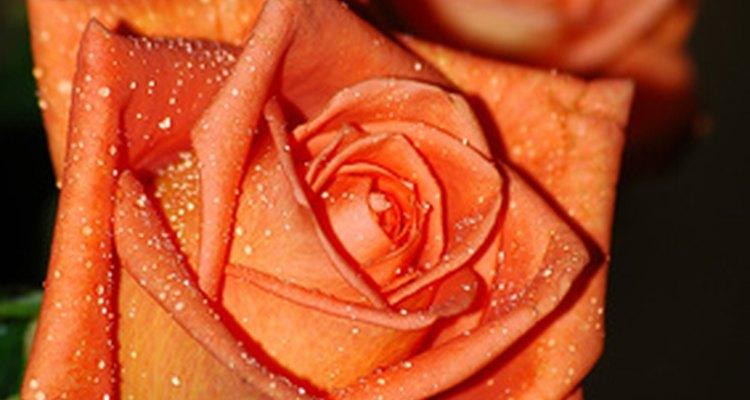 Los rosales floribunda son más pequeños.