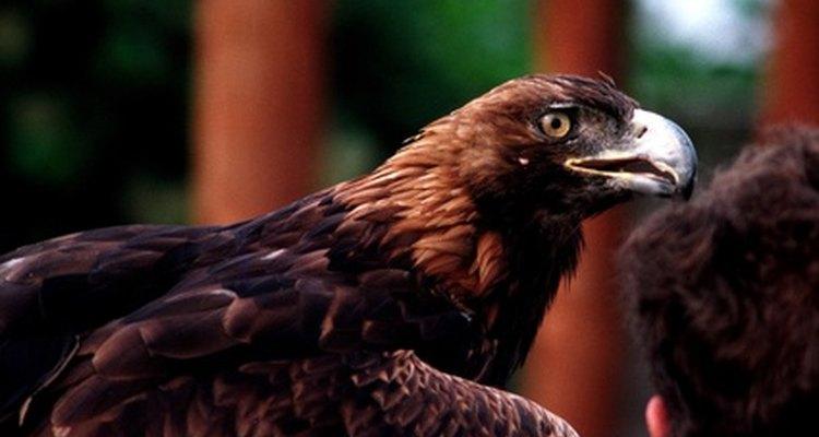 La magnífica águila dorada con su plumaje adulto.