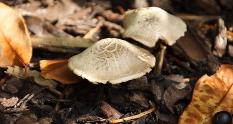 Cogumelos podem estar mais perto da carne do que dos legumes