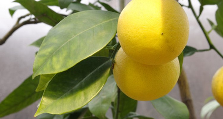 To keep your lemon tree thriving, it's important to control insect pests.