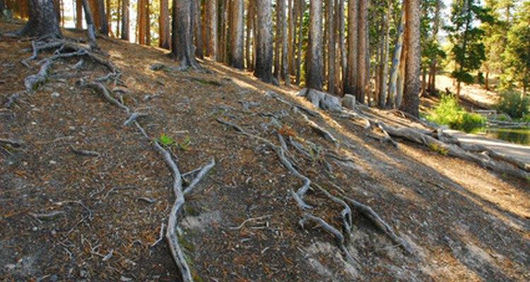 Los pinos tienen un sistema de raíces expansivo.