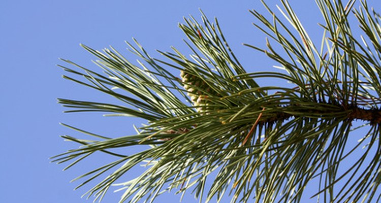 The Scots pine is a popular Christmas tree because of its needle retention.