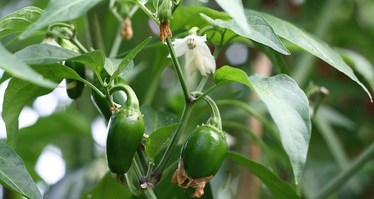 Peppers complete their life cycle in less than three months.