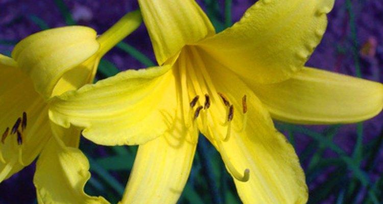 Cada flor de lirio de día florece por un solo día antes de marchitarse en el tallo.