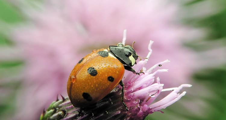 Ladybirds are attracted to a variety of smells.