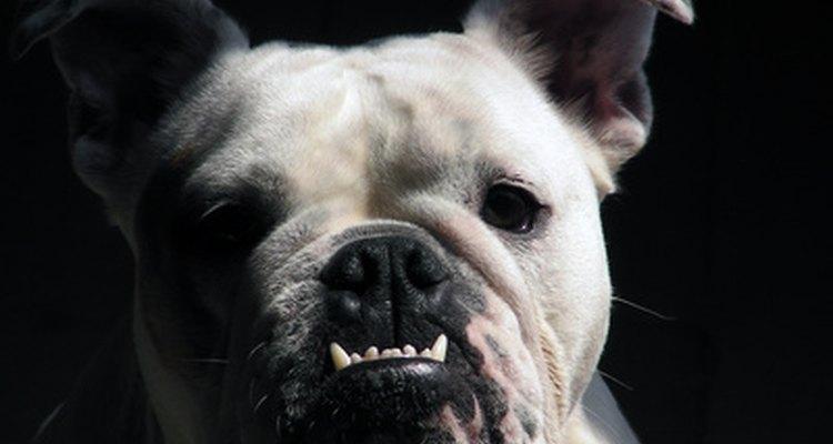 La cara corta del bulldog inglés lo puede hacer susceptible a los problemas respiratorios.