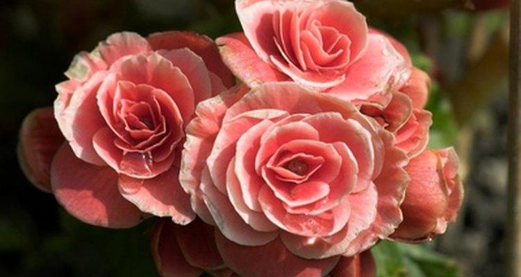 É possível abrir botões de rosa para revelar toda a beleza e o formato dessa flor